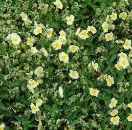 Sonnenröschen, Helianthemum Hybride 'Cornish Cream' - Bild vergrößern