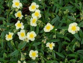 Helianthemum Hybride 'Cornish Cream', Sonnenröschen - Bild vergrößern