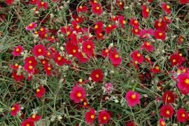 Helianthemum Hybride 'Supreme', Sonnenröschen - Bild vergrößern