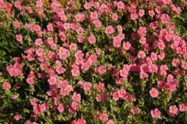 Helianthemum Hybride 'Lawrensons Pink' Sonnenröschen - Bild vergrößern