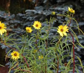 Helianthus salicifolius, weidenblättrige Staudensonnenblume - Bild vergrößern