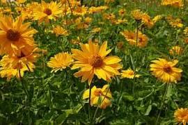 Sonnenauge, Heliopsis helianthoides var. scabra 'Hohlspiegel' - Bild vergrößern
