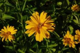 Heliopsis helianthoides var. scabra 'Sommersonne', Sonnenauge - Bild vergrößern