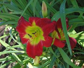 Hemerocallis-Hybriden 'Christmas Is', Taglilie - Bild vergrößern