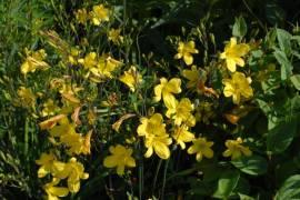 Hemerocallis-Hybriden 'Jo Jo', Taglilie - Bild vergrößern