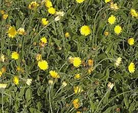 Habichtskraut, Hieracium pilosella - Bild vergrößern