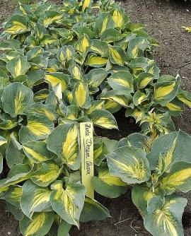 Hosta Hybride 'Dream Queen', Funkie