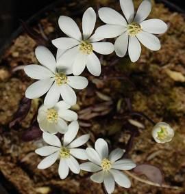 Jeffersonia diphylla, Herzblattschale, Muschelblume - Bild vergrößern