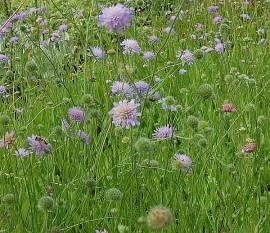 Knautia arvensis Witwenblume - Bild vergrößern