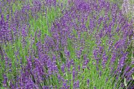 Lavendel, Lavandula angustifolia 'Hidcote Blue' - Bild vergrößern