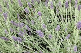 Lavandula cheytorae  'Richard Grey' Lavendel - Bild vergrößern