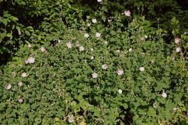 Lavatera thuringiaca Buschmalve,Thüringer Strauchpappel - Bild vergrößern
