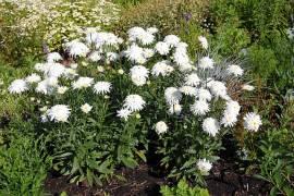 Leucanthemum Maximum - Hybride 'Eisstern', Sommermargerite - Bild vergrößern