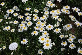 Margerite, Leucanthemum Maximum - Hybride 'Gruppenstolz', Sommermargerite - Bild vergrößern