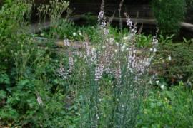 Leinkraut, Linaria purpurea 'Canon J. Went' - Bild vergrößern