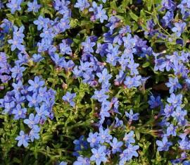 Lithodora diffusa 'Heavently Blue', Steinsame - Bild vergrößern