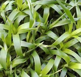Luzula sylvatica  'Tauernpass' Waldmarbel - Bild vergrößern