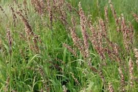 Melica altissima atropurpurea, sibirisches Perlgras - Bild vergrößern