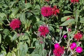 Monarda Fistulosa Hybriden 'Ruby Glow',  Indianernessel - Bild vergrößern