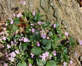 Montia sibirica, sibirisches Tellerkraut - Bild vergrößern