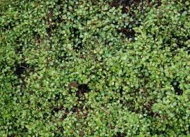 Muehlenbeckia axillaris, Mühlenbeckie - Bild vergrößern
