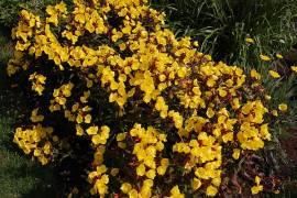 Oenothera fruticosa 'Sonnenwende', Nachtkerze - Bild vergrößern