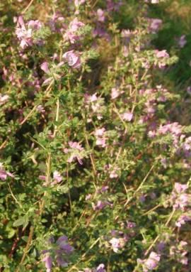 Ononis spinosa, Hauhechel - Bild vergrößern