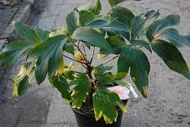Paeonia suffruticosa 'Godaishu' Strauch-Pfingstrose, reinweiß - Bild vergrößern