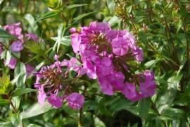 Phlox Maculata - Hybride 'Alpha', Wiesenphlox - Bild vergrößern