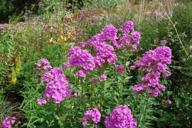 Phlox Paniculata - Hybride 'Hesperis', Flammenblume - Bild vergrößern