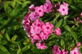Phlox Paniculata - Hybride 'Oljenka', Flammenblume - Bild vergrößern