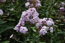 Flammenblume, Phlox Paniculata - Hybride 'Violetta Gloriosa' - Bild vergrößern