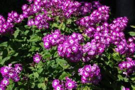 Flammenblume, Phlox Paniculata - Hybride 'Wilhelm Kesselring' - Bild vergrößern