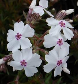 Phlox subulata 'Amazing Grace',Polsterphlox - Bild vergrößern