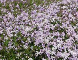 Polsterphlox, Phlox subulata 'Emerald Cushion Blue' - Bild vergrößern