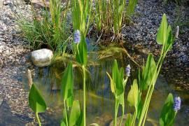 Hechtkraut, Pontederia cordata - Bild vergrößern