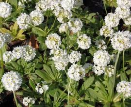 Primula denticulata 'Alba' Kugelprimel, weiß - Bild vergrößern