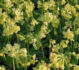 Primula elatior, Schlüsselblume - Bild vergrößern
