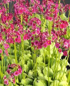 Primula japonica 'Millers Crimson', japanische Etagenprimel - Bild vergrößern