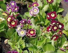Primula x pubescens, Farbmischung, Gartenaurikel - Bild vergrößern