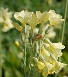 Primula sikkimensis,  Hängeglockenprimel - Bild vergrößern