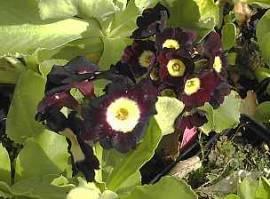 Primula auricula 'bunte' Gartenaurikel, Alpenaurikel
