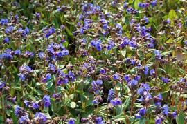 Pulmonaria angustifolia 'Blue Ensign', Lungenkraut - Bild vergrößern