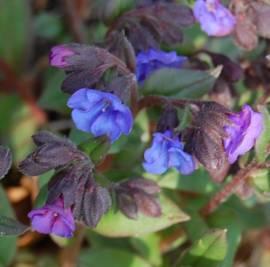 Lungenkraut, Pulmonaria angustifolia 'Blue Ensign' - Bild vergrößern