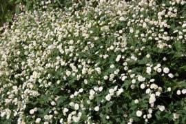 Ranunculus aconitifolius 'Flore Pleno', eisenhutblättriger  Hahnenfuß - Bild vergrößern