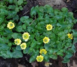 Ranunculus ficaria 'Flore Pleno', Scharbockskraut - Bild vergrößern