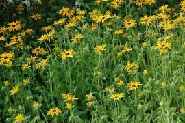 Rudbeckia fullgida var. deamii, Sonnenhut - Bild vergrößern