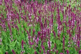 Salvia nemorosa 'Rose Queen' Steppensalbei - Bild vergrößern