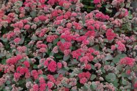 Sedum Maximum - Hybride 'Munstead Dark Red', Fetthenne - Bild vergrößern
