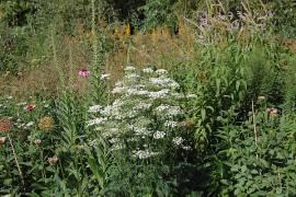 Selinum wallichianum, Silge - Bild vergrößern